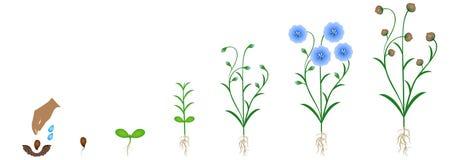 Ciclo del crecimiento vegetal del lino, aislado en el fondo blanco Fotos de archivo