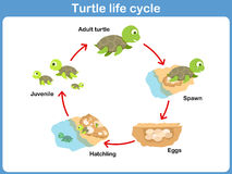 Ciclo del vector de la tortuga para los niños