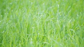 Ciclo dell'erba verde stock footage
