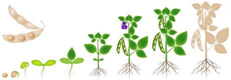 Ciclo di crescita della pianta di soia isolata su fondo bianco royalty illustrazione gratis