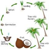 Ciclo di una crescita di pianta della noce di cocco isolato su fondo bianco illustrazione vettoriale