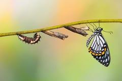 Ciclo di vita comune della farfalla di clytia di Papilio del mimo fotografia stock