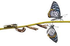 Ciclo di vita comune della farfalla di clytia di Papilio del mimo Immagini Stock