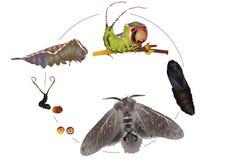 Ciclo di vita del lepidottero del micio Fotografia Stock Libera da Diritti
