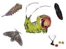 Ciclo di vita del lepidottero del micio Fotografie Stock Libere da Diritti