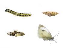 Ciclo di vita della farfalla Fotografia Stock Libera da Diritti
