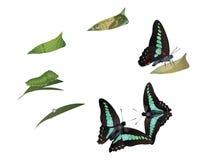 Ciclo di vita della farfalla comune di moscone azzurro della carne Immagine Stock