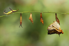 Ciclo di vita della farfalla comune di thyodamas di Cyrestis della mappa dal Ca fotografia stock