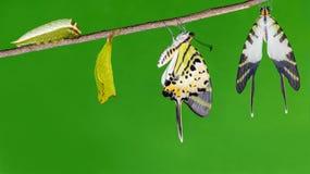 Ciclo di vita della farfalla dello swordtail da cinque barre fotografia stock