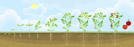 Ciclo di vita della pianta di pomodori Fasi di crescita dal seme alla pianta adulta con i frutti illustrazione vettoriale