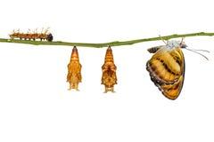 Ciclo di vita isolato della farfalla segeant di colore che appende sul ramoscello Immagini Stock