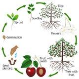Ciclo do crescimento de uma árvore de cereja em um fundo branco imagens de stock
