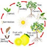 Ciclo do crescimento de uma árvore de limão em um fundo branco Imagens de Stock Royalty Free
