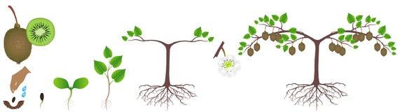 Ciclo do crescimento de uma planta do quivi em um fundo branco ilustração do vetor