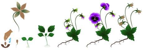 Ciclo dos pansies crescimento vegetal, isolado no fundo branco Imagem de Stock