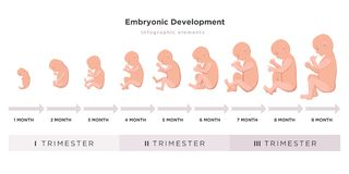 Ciclo embrionário do desenvolvimento mês a mês de 1 a 9 meses ao nascimento com ícones do embrião nos trimestres médicos ilustração stock