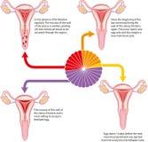 Ciclo Menstrual Imagem de Stock