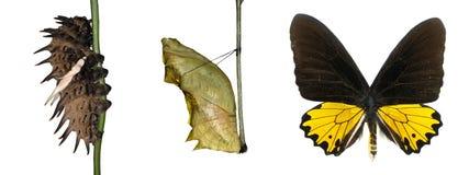 Ciclo vital de la mariposa Foto de archivo libre de regalías