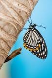 Ciclo vital de la mariposa Imagen de archivo