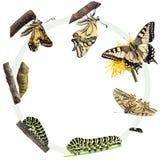 Ciclo vital de la mariposa de Swallowtail Foto de archivo libre de regalías