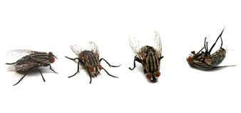 Ciclo vital de la mosca Foto de archivo