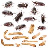 Ciclo vital de una composición del gusano de harina, Tenebrio Foto de archivo