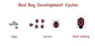 Ciclos de desarrollo del insecto de cama ejemplo del vector de la educación Imagen de archivo