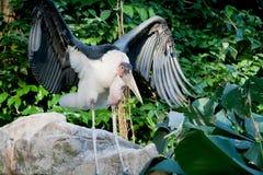 Cicogna africana Fotografia Stock