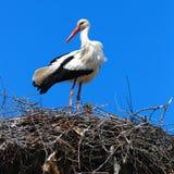 Cicogna appollaiata in cima al nido Fotografie Stock