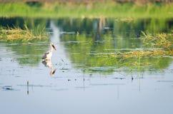 Cicogna asiatica di Openbill fotografia stock