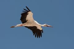 Cicogna bianca Immagini Stock