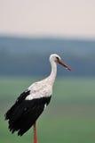 Cicogna bianca Fotografie Stock
