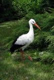 Cicogna bianca Fotografia Stock Libera da Diritti
