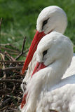 Cicogna bianca Immagine Stock Libera da Diritti