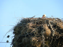 Cicogna bianca Fotografia Stock