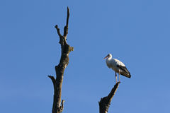 Cicogna bianca appollaiata immagini stock