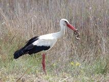 Cicogna bianca che mangia un serpente dei dadi Fotografia Stock