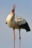 Cicogna bianca che piega il suo collo Fotografia Stock
