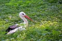 Cicogna bianca che riposa nel selvaggio Immagine Stock Libera da Diritti