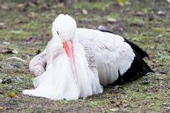 Cicogna bianca che si siede su un prato fotografia stock libera da diritti