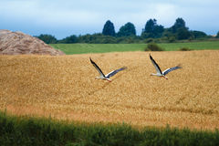 Cicogna bianca, Ciconia ciconia, White Stork Royalty Free Stock Images
