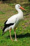 Cicogna bianca (ciconia di Ciconia) fotografia stock libera da diritti
