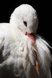 Cicogna bianca, ciconia di Ciconia immagini stock libere da diritti