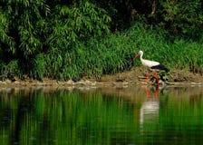 Cicogna bianca (ciconia di Ciconia) Immagine Stock