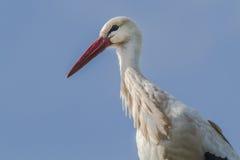 Cicogna bianca (ciconia di Ciconia) Fotografia Stock