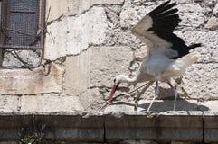 Cicogna bianca, ciconia di Ciconia fotografie stock libere da diritti