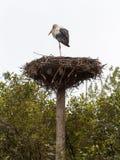 Cicogna bianca (ciconia di Ciconia) che si leva in piedi sul suo nido fotografia stock