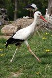 Cicogna bianca Ciconia di Ciconia nella scena rurale del prato Immagine Stock Libera da Diritti