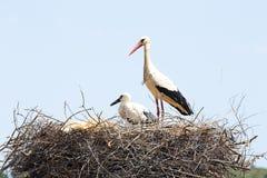Cicogna bianca con il suo bambino in primavera Immagine Stock Libera da Diritti