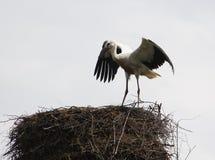 Cicogna bianca europea Immagine Stock Libera da Diritti